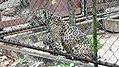 Jaguar in the Paramaribo Zoo (31332910695).jpg