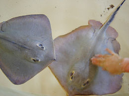 Japan stingrays
