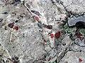 Jasper pebbles in quartzite (Lorrain Formation, Paleoproterozoic, ~2.3 Ga; Ottertail Lake Northeast roadcut, near Bruce Mines, Ontario, Canada) 1 (47655869282).jpg