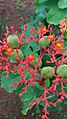 Jatropha podagrica flowers leaves 01.jpg