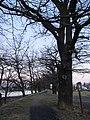 Jesenice - památné duby na hrázi Velkého rybníka.JPG