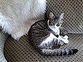 Jeune chat tigré.jpg
