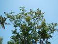 Jf9408Pterocarpus indicus Lubaofvf 08.JPG