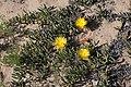 Jordaaniella clavifolia? (Aizoaceae) (37387314666).jpg