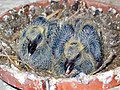 Jung Homing pigeons.JPG