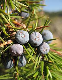 Juniperus communis communis Italy.jpg