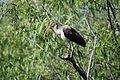 Juvenile white ibis, Everglades National Park - panoramio.jpg