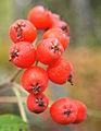 Jyväskylä - berries 2.jpg