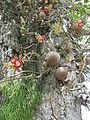 Kanonenkugelbaum, Stamm mit Früchten und Blüten.JPG