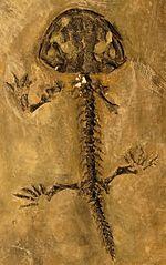 Widok z góry szkieletu salamandry