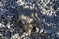 Karoo skull.jpg