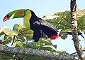 Keel-billed Toucan (16565454265).jpg
