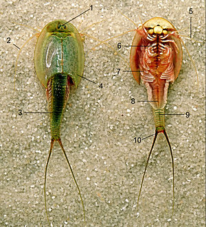 Triops - Upper and underside Triops. 1 eyes, 2 antennae, 3 tail, 4 torso, 5 antenne, 6 1st torso appendix, 7 legs with gill, 8 middelline, 9 tail, 10 anus