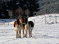 Kiang (Tibetan wild asses) at Highland Wildlife Park - geograph.org.uk - 1074744.jpg