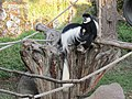 Kikuyu-Guereza (Zoo Dresden).jpg