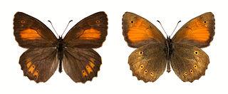 <i>Kirinia climene</i> species of insect