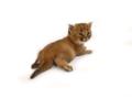 Kitten Hybrid. Caracat. Vipleo Ukraine F1 13.png