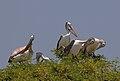 Kokkare Bellur Pelicans.jpg