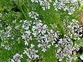 Kolendra siewna. (Coriandrum sativum L.) 02.jpg