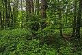 Kolomenskoye AlnusGlutinosa 04569.jpg