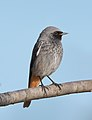 Kopciuszek (samiec) - Phoenicurus ochruros gibraltariensis male.jpg