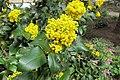 Korina 2013-03-30 Mahonia aquifolium 6.jpg