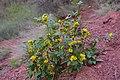 Korina 2014-03-28 Mahonia aquifolium 3.jpg