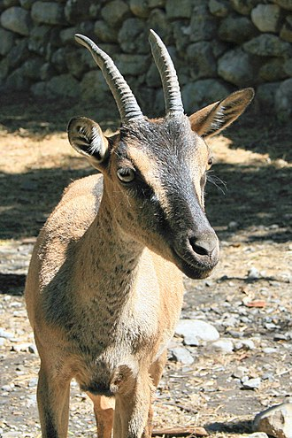Kri-kri - Close-up of adult, Samaria Gorge National Park