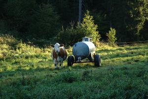 Kuh und Fasswagen.png