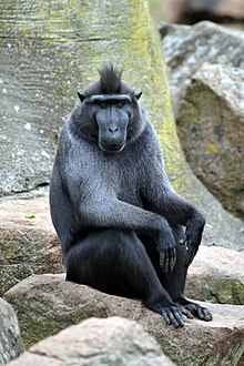 celebes crested macaque wikipedia