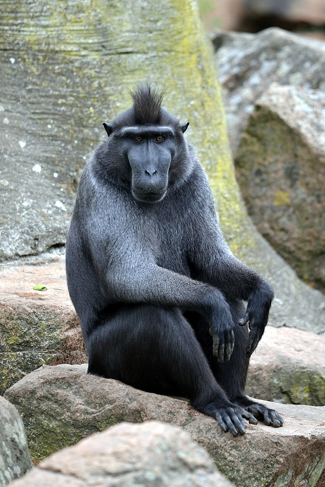 The average litter size of a Celebes crested macaque is 1