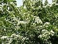 Kwiat głogu - panoramio - romstar.jpg