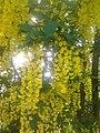 Laburnum × watereri yellow flowers.jpg