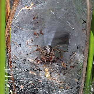 <i>Agelena labyrinthica</i> species of arachnid