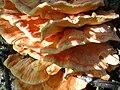 Laetiporus sulphureus 03.jpg
