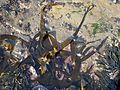 Laminaria digitata (Oarweed), Troon, Ayrshire, Scotland.jpg