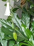 Lapageria rosea with berry in Temuco 02.JPG