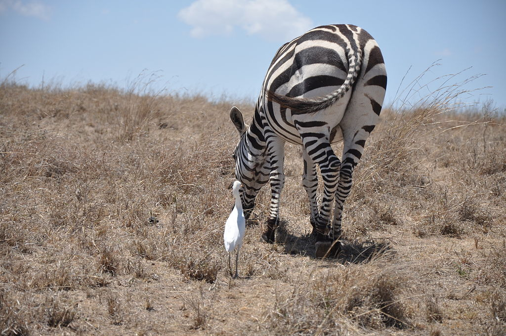 File:Lascar An example of commensalism - A zebra and an egret ...