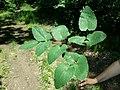 Laserpitium latifolium subsp. asperum sl30.jpg