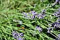 Lavender+bee02.JPG
