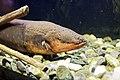 Le Bugue - Aquarium du Périgord noir - Anguille électrique - 001.jpg