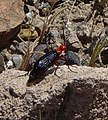 Leatherhead Beetle above Mesquite Springs in Death Valley NP-crop.jpg