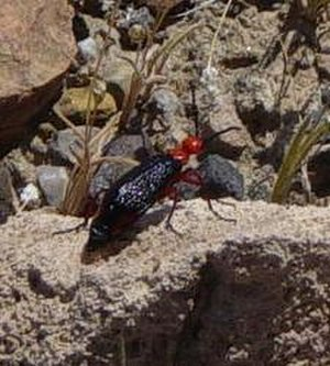 Coleopterology - Leatherhead beetle above Mesquite Springs in Death Valley