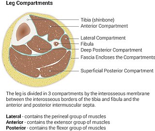 Anterior compartment of leg Part of the Fascial compartments of leg