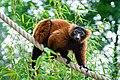 Lemur (36476879551).jpg