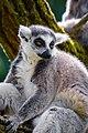 Lemur (40738820965).jpg