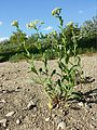 Lepidium draba (subsp. draba) sl2.jpg