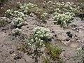 Lepidium papilliferum flowering in SW Idaho 4.jpg