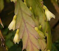 Lepismium houlletianum 3 ies.jpg