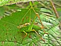 Leptophyes punctatissima (Speckled bush-cricket) male, Valkenburg, the Netherlands.jpg